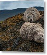 Common Seals, Loch Dunvegan, Isle Of Metal Print