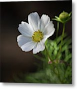 Cosmos In The Cottage Garden Metal Print
