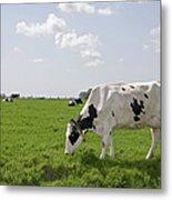 Cow Eating Grass On Farm Land Metal Print