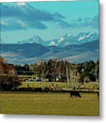 Cows Eat And Chew Their Cud Metal Print