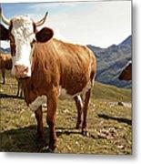 Cows,mount Grossglockner High Alpine Metal Print