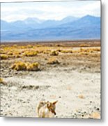 Coyote, Death Valley National Park Metal Print