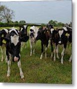 Curious Cows Metal Print