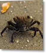 Curious Crab Metal Print