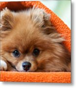 Cute And Funny Puppy Pomeranian Smiling Metal Print