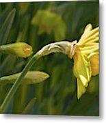 Daffodil In Sun Metal Print
