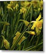 Daffodil Starlight Metal Print