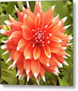 Dahlia Bloom Flower Metal Print