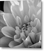 Dahlia In Monochrome Metal Print