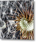Dandelion Seed Pod Metal Print
