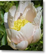 Delicate Pastel Peach Cupped Peony Blossom Metal Print