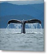 Diving Humpback Whale, Alaska Metal Print