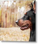 Doberman Pinscher On The Background Of Metal Print