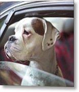 Dog In A Car Metal Print