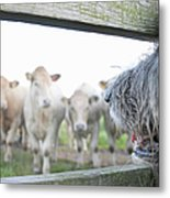 Dog Watching Cows Through Fence Metal Print