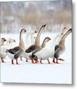 Domestic Geese Outdoor In Winter Metal Print