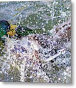 Duck Fight Metal Print
