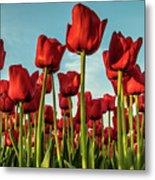 Dutch Red Tulip Field. Metal Print
