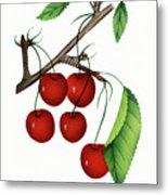 Early Richmond Cherries Metal Print