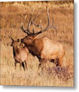 Elk And Mate In Rocky Mountain Meadow Metal Print