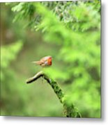 English Robin Erithacus Rubecula Metal Print