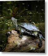 European Pond Turtle Sitting On A Trunk In A Pond Metal Print