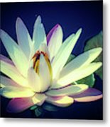 Evening Water Lily Metal Print