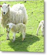 Ewe With Lambs Metal Print