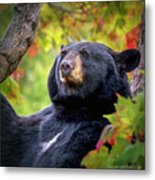 Fall Black Bear Metal Print