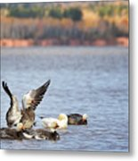 Fall Migration At Whittlesey Creek Metal Print