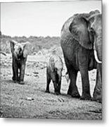 Female African Elephant Metal Print