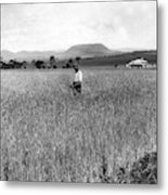 Field Of Wheat Campbell S Plains  Darling Downs Metal Print
