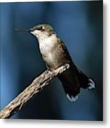 Flick Of The Tongue - Ruby-throated Hummingbird Metal Print