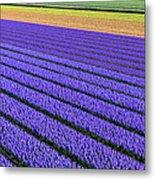 Flower Fields In Spring In Holland Metal Print