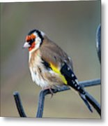Fluffy Goldfinch Metal Print