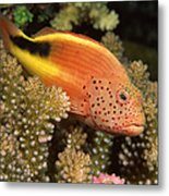 Freckled Hawkfish Perches On Stony Metal Print