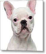 French Bulldog Puppy 5 Months Old Metal Print