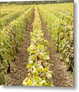 French Vineyards Of The Champagne Region Metal Print