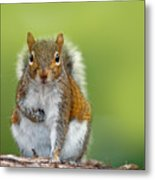 Funny Image From Wild Nature. Gray Metal Print