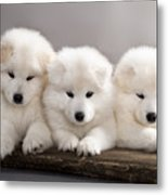 Funny Puppies Of Samoyed Dog Or Bjelkier Metal Print