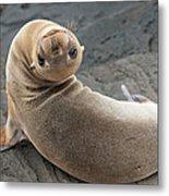 Fur Seal Otariidae Looking Back Upside Metal Print