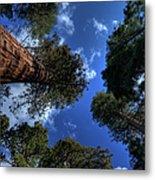 Giant Sequoias - 2 Metal Print