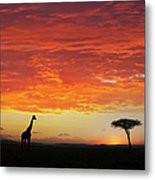 Giraffe And Acacia Tree At Sunset Metal Print