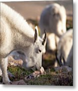 Grazing On Mount Evans Metal Print