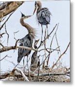 Great Blue Heron Rookery 4 Metal Print