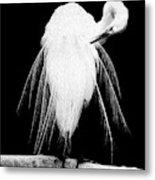 Great Egret In Full Bloom 3 Metal Print