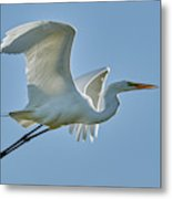 Great Egret, Yolo County California Metal Print