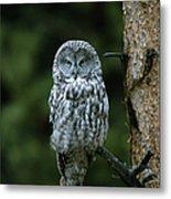 Great Gray Owl Strix Nebulosa On Perch Metal Print