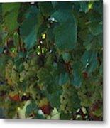 Green Grapes On The Vine 4 Metal Print