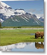 Grizzly Bear, Katmai National Park Metal Print